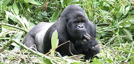 The Giant Ape - Mountain Gorilla